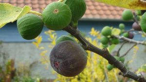 how to tell figs are ripe