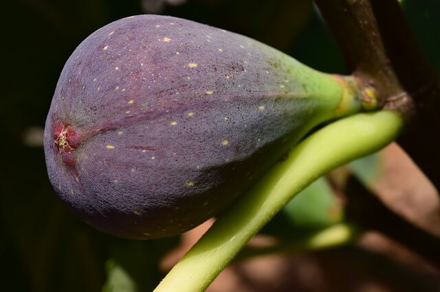 how to grow figs indoors