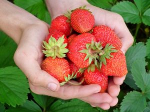 strawberries are a good choice for growing indoors
