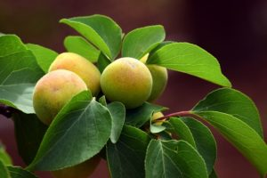 grow apricots in apartment