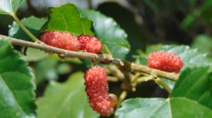close up of red mulberries grown indoors