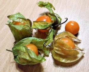 cape gooseberry plant grown indoors