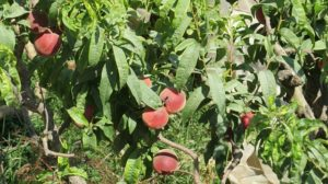 grow nectarines outdoors
