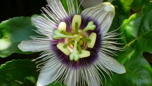 apartment grown passion flower