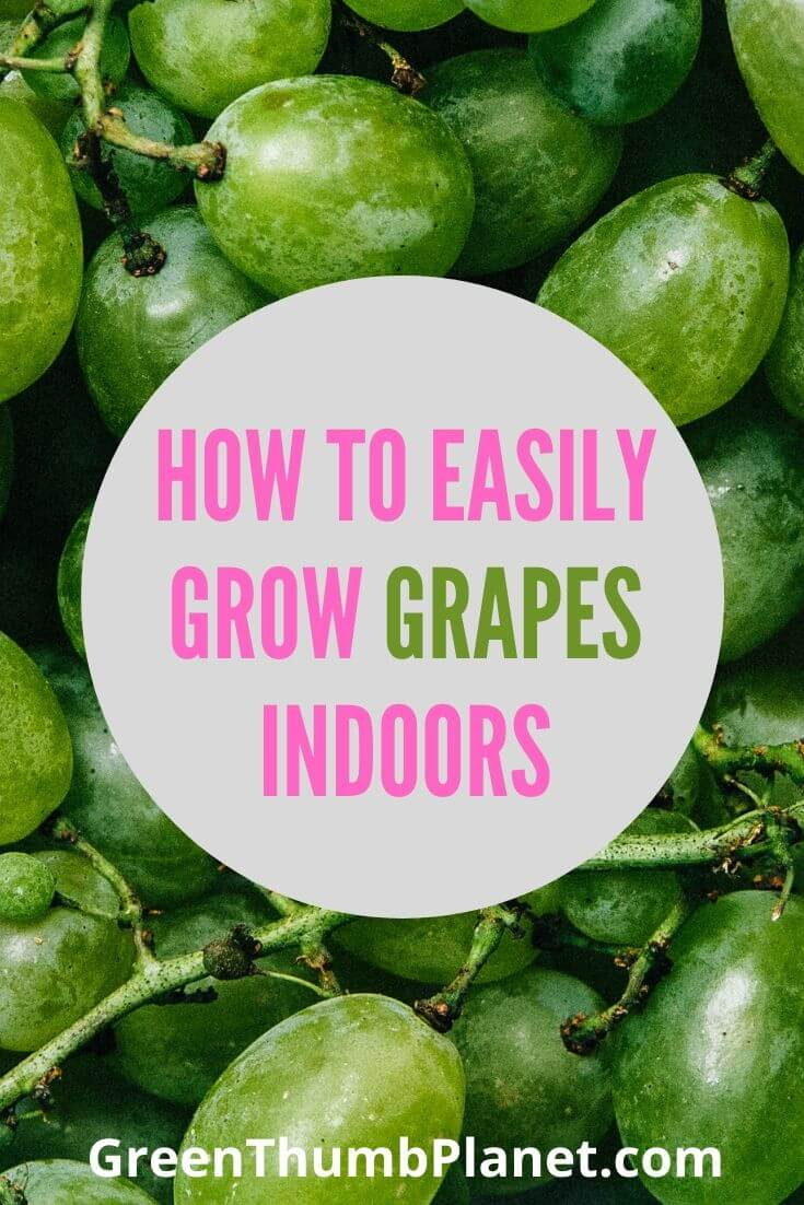 How To Easily Grow Grapes Indoors