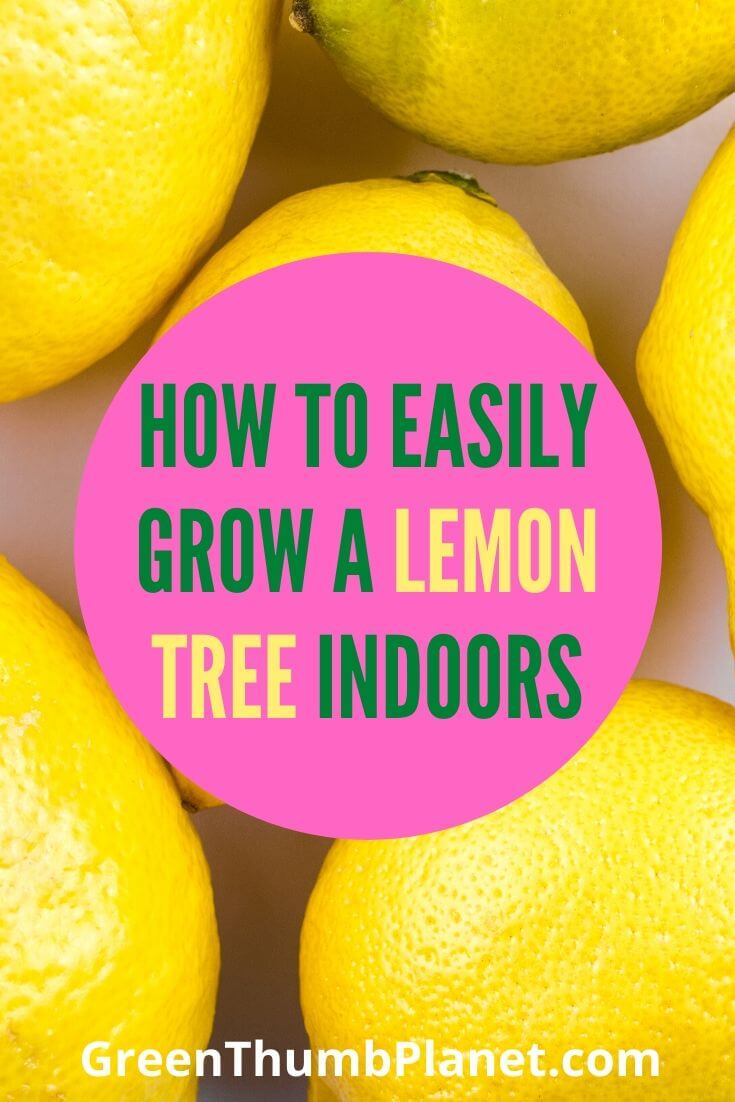 How To Easily Grow lemon Indoors