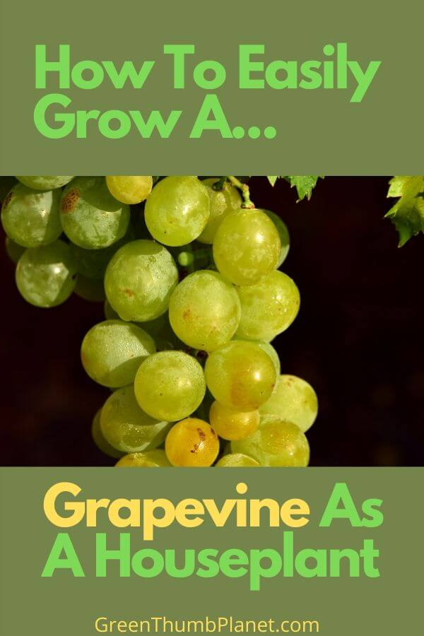 How To Easily Grow A Grapevine Indoors