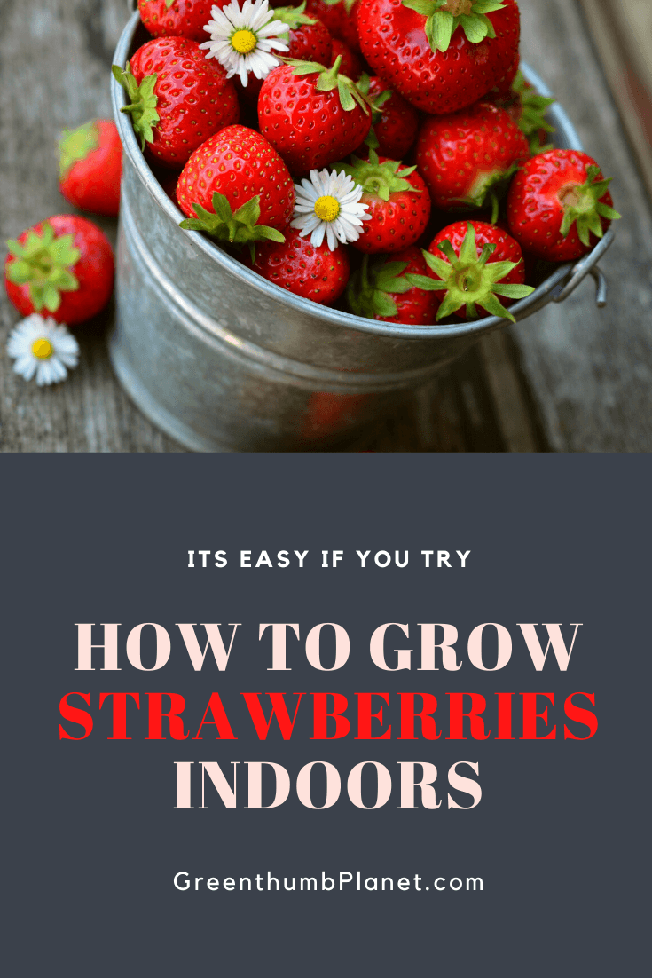 How To Easily Grow Strawberries Indoors