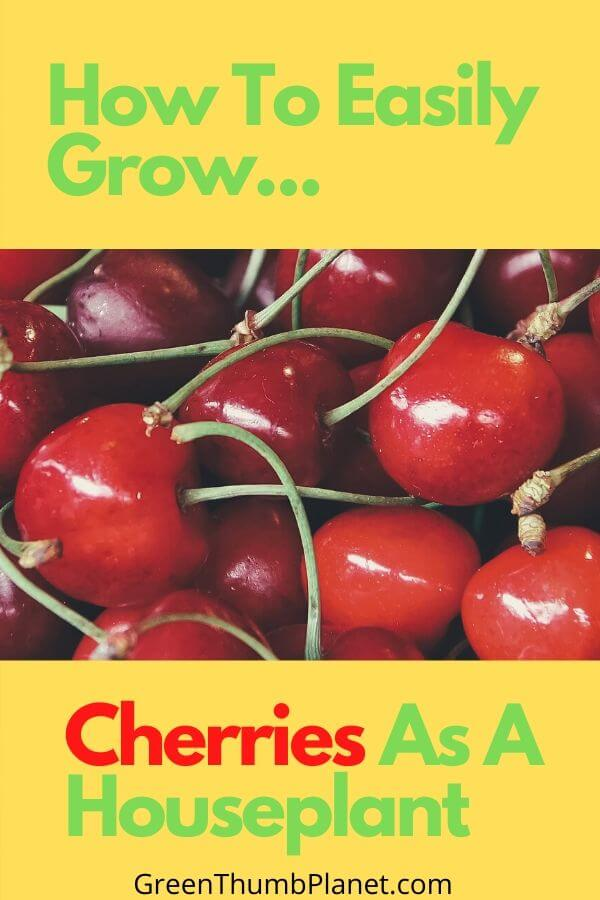 Grow Cherries As A Houseplant