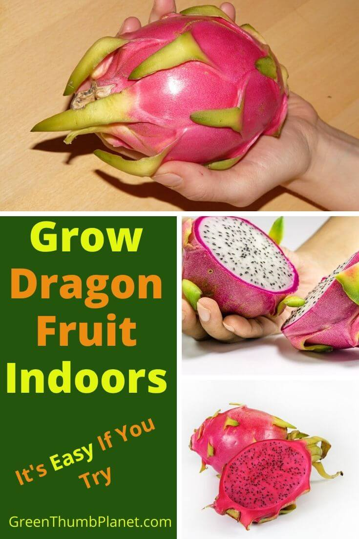 How To Grow Dragon Fruit Indoors