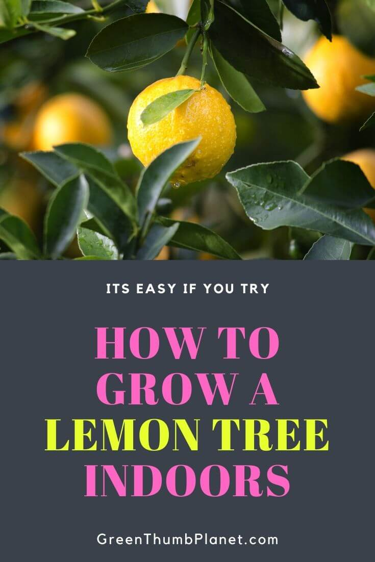 Easily Grow A Dwarf Lemon Tree Indoors
