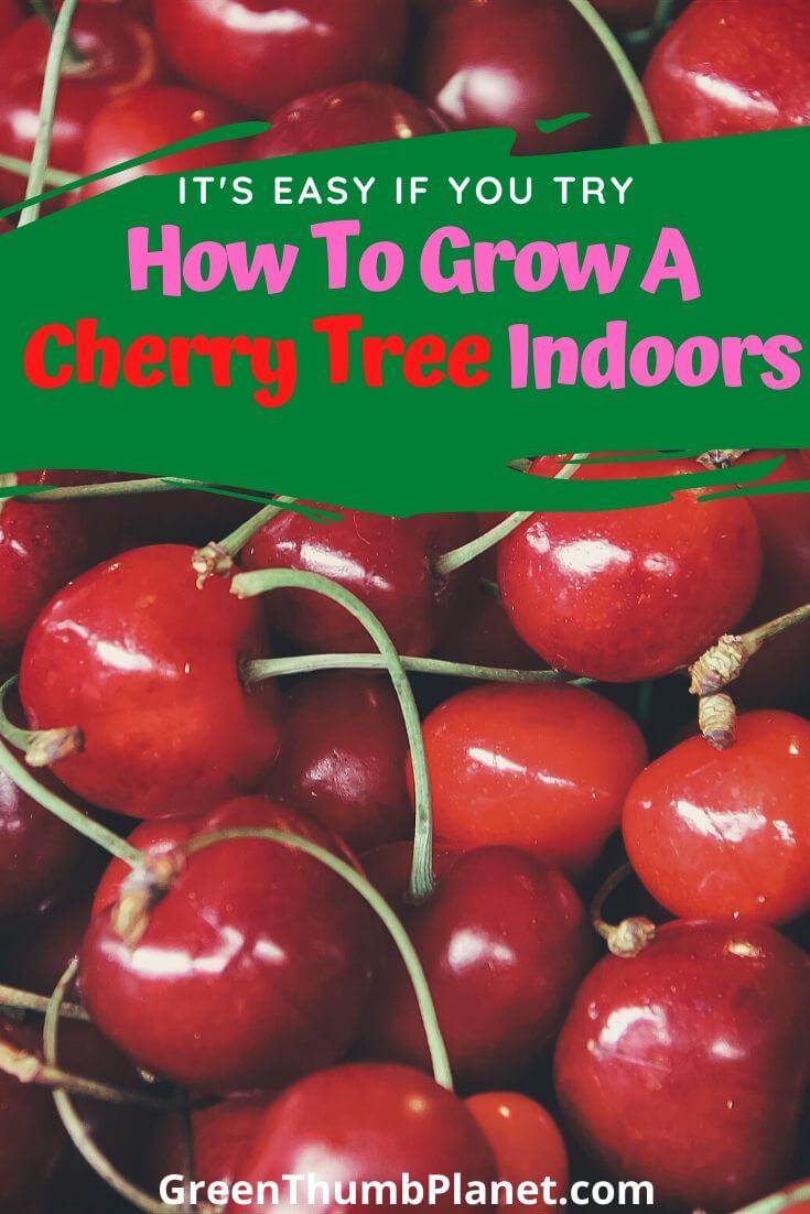 How To Grow A Dwarf Cherry tree Indoors