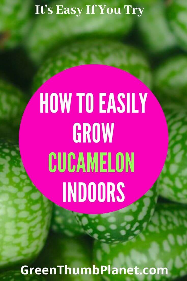 How To Grow Cucamelon Indoors