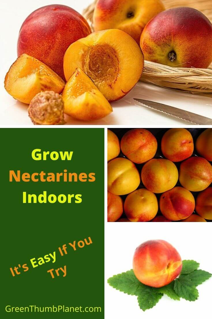 How To Grow Nectarines Indoors