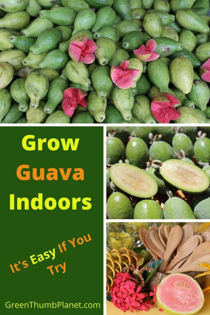 How To Grow Guava Indoors