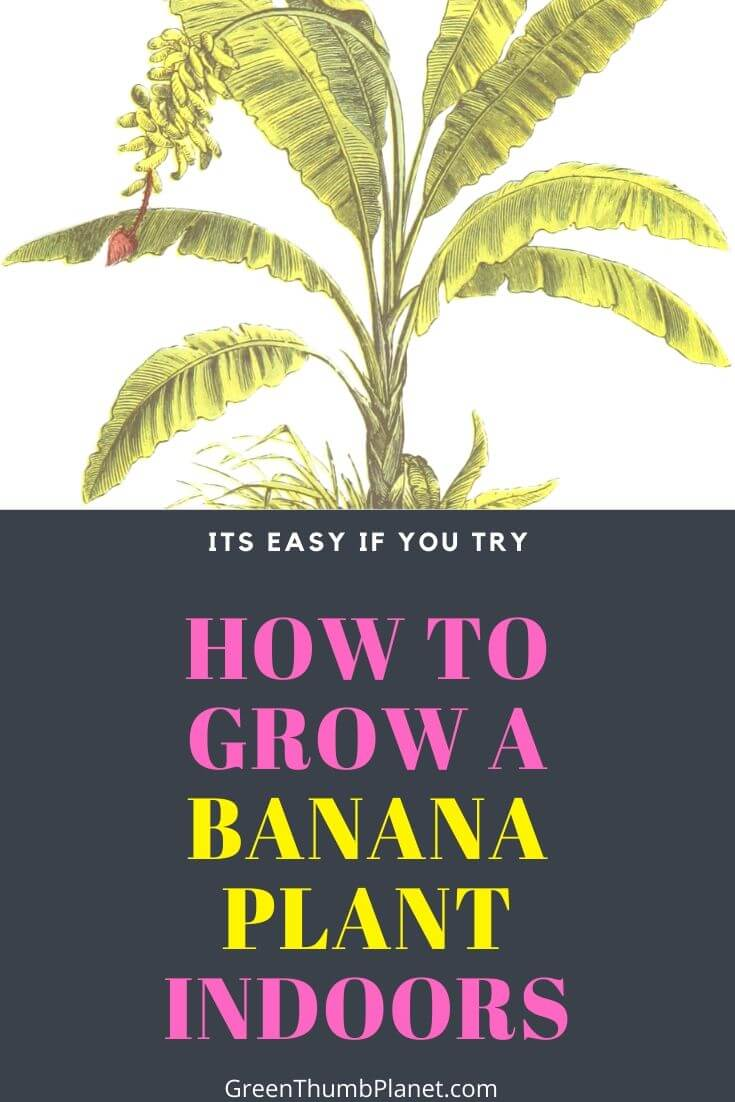 Easily Grow Bananas Indoors