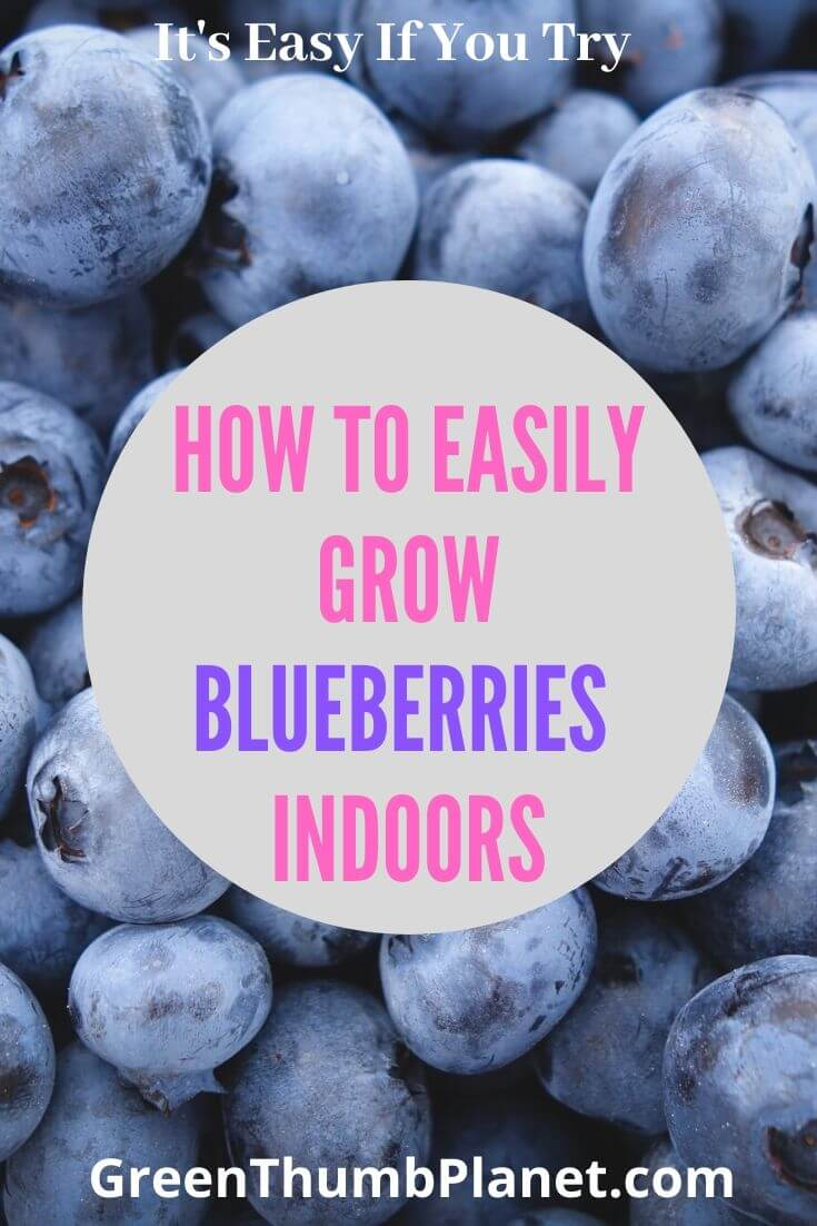 How To Grow Blueberries Indoors