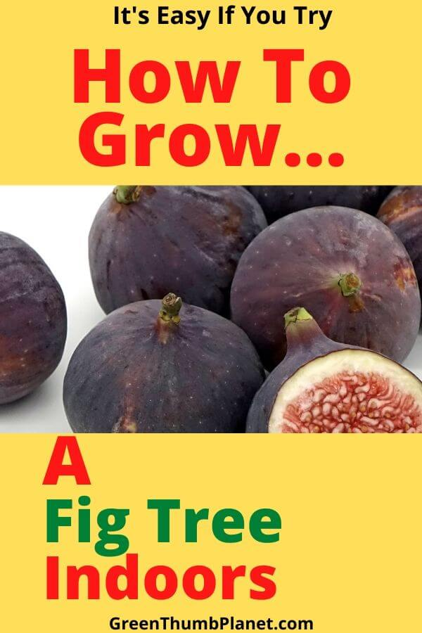 How To Grow A Fig Tree Indoors