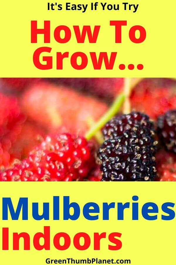 How To Grow A Mulberry Bush Indoors