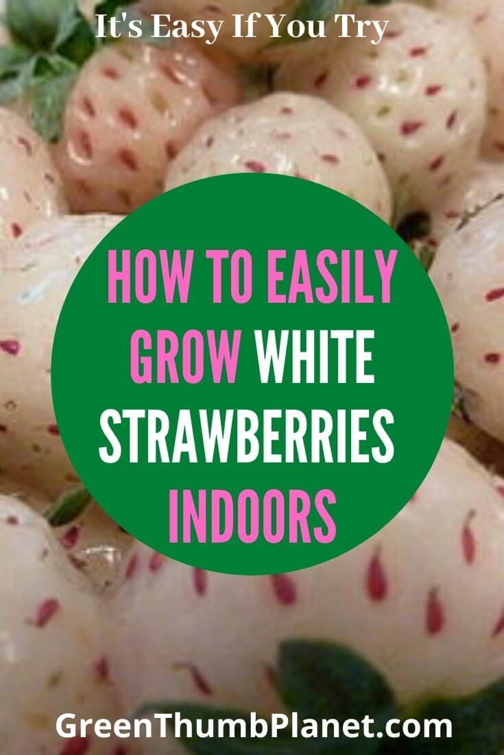 How To Grow White Strawberries Indoors
