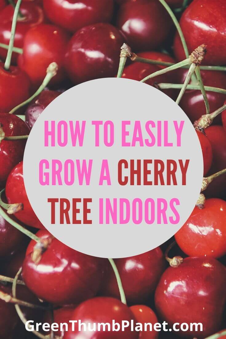 Grow A Dwarf Cherry Tree Indoors