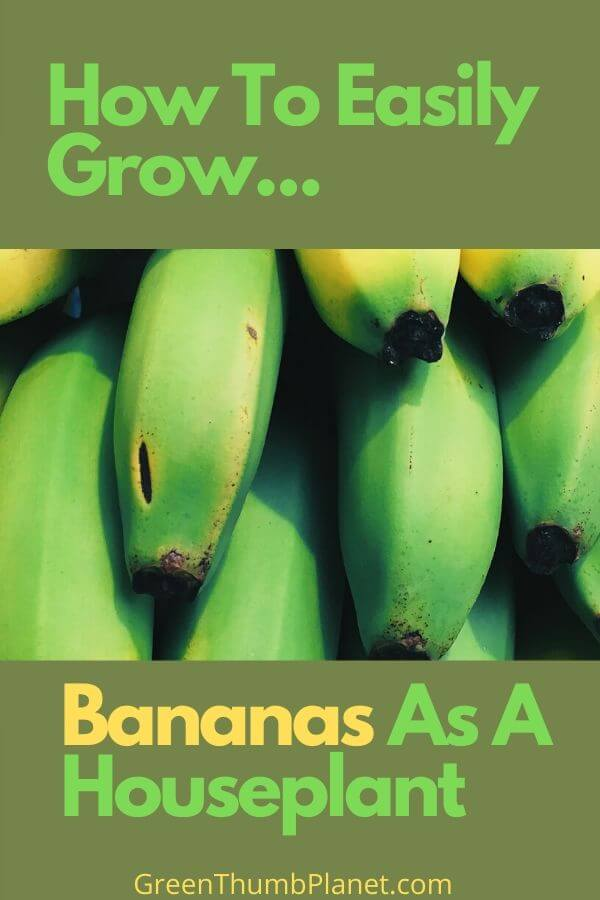 Grow Bananas As A Houseplant