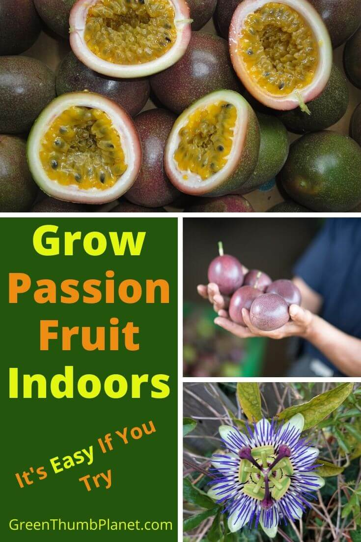 How To Grow Passion Fruit Indoors