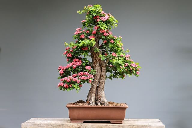 fruit bonsai tree