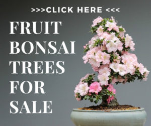 indoor fruit bonsai for sale