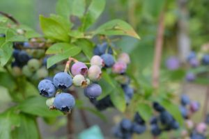easy to grow indoors blueberries