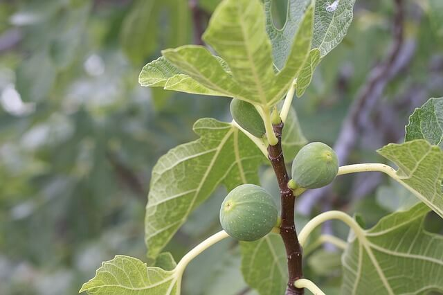 buy a fig tree online