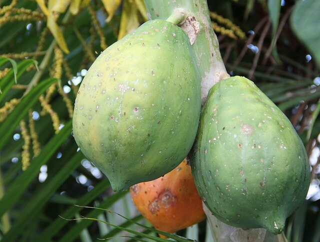 dwarf papaya fruit