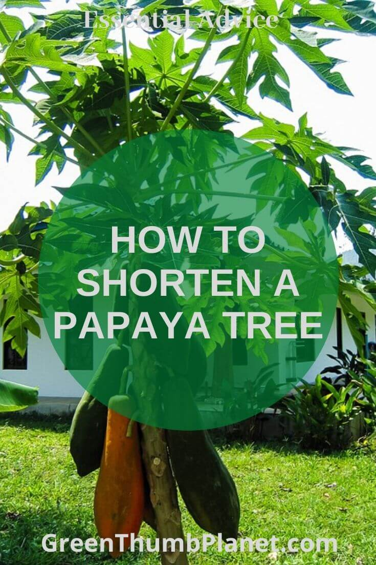 How To Shorten A Papaya Tree