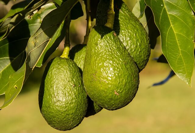 buy avocado tree