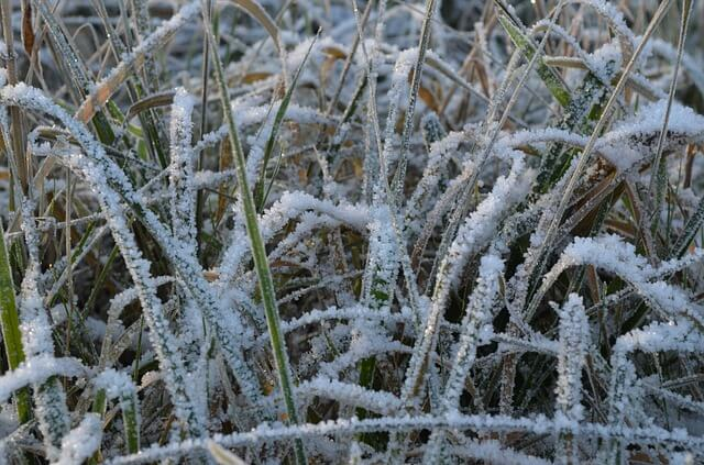 frost turns grass yellow