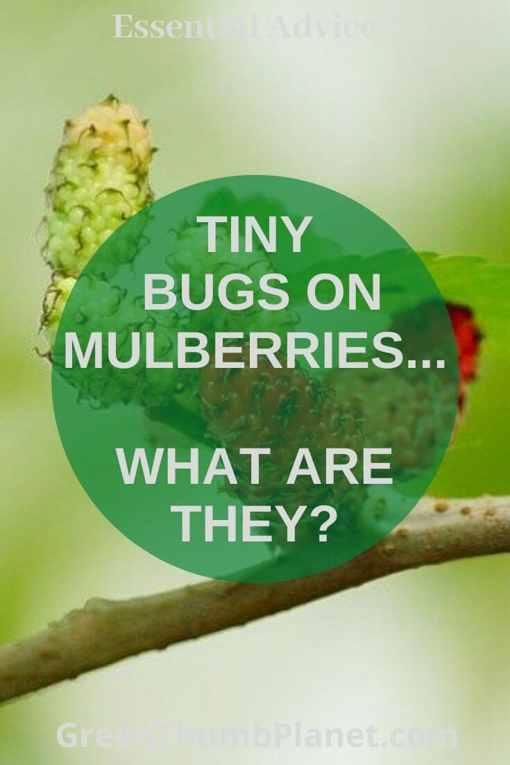 What Are Te Tiny Bugs On Mulberries?