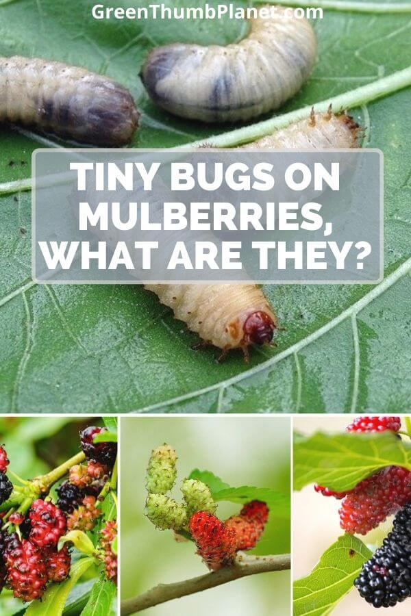 What Are The Tiny Bugs On Mulberries?