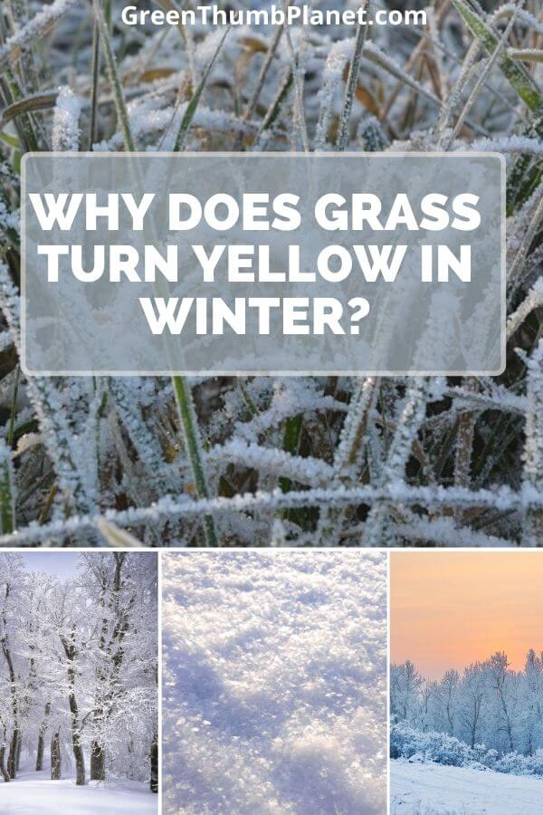 Grass Turns Yellow During Winter