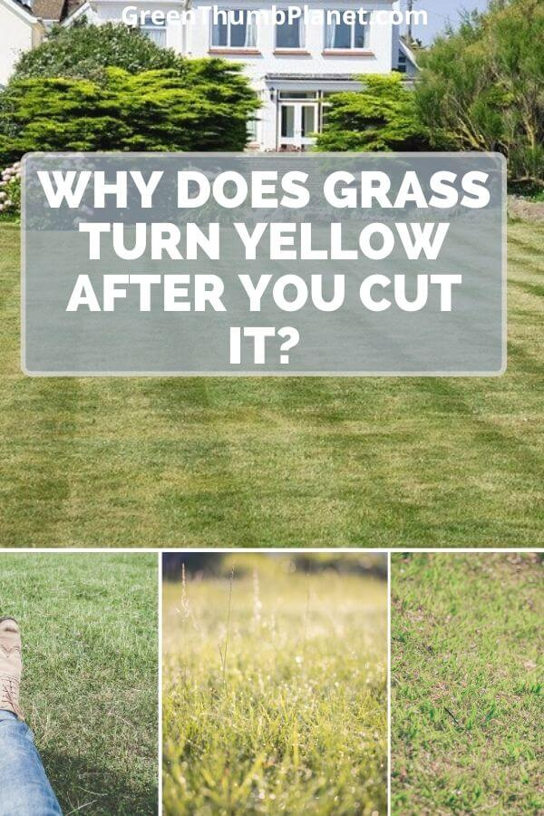 Wht grass turns yellow after you cut it