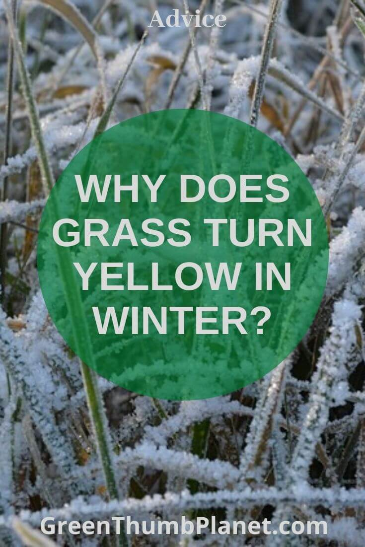 Why Does Grass Turn Yellow During Winter?
