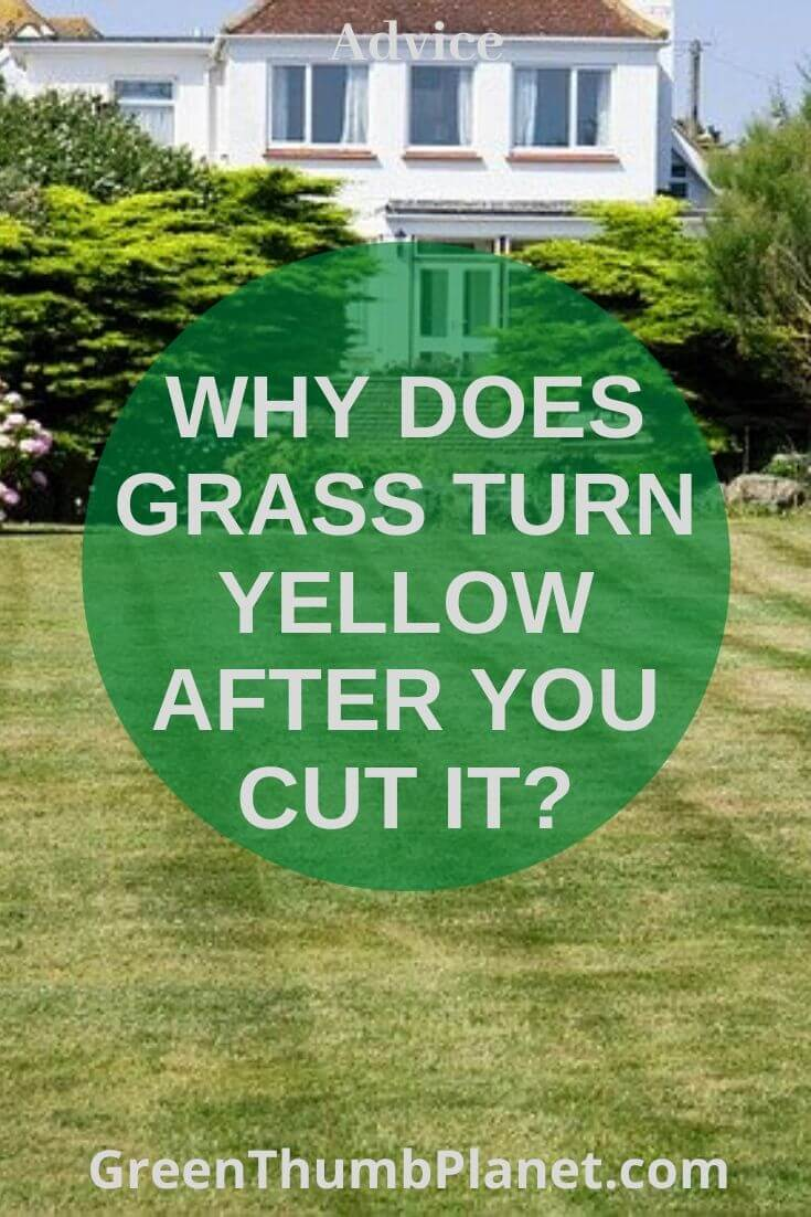 Why does grass turn yellow after you cut it?