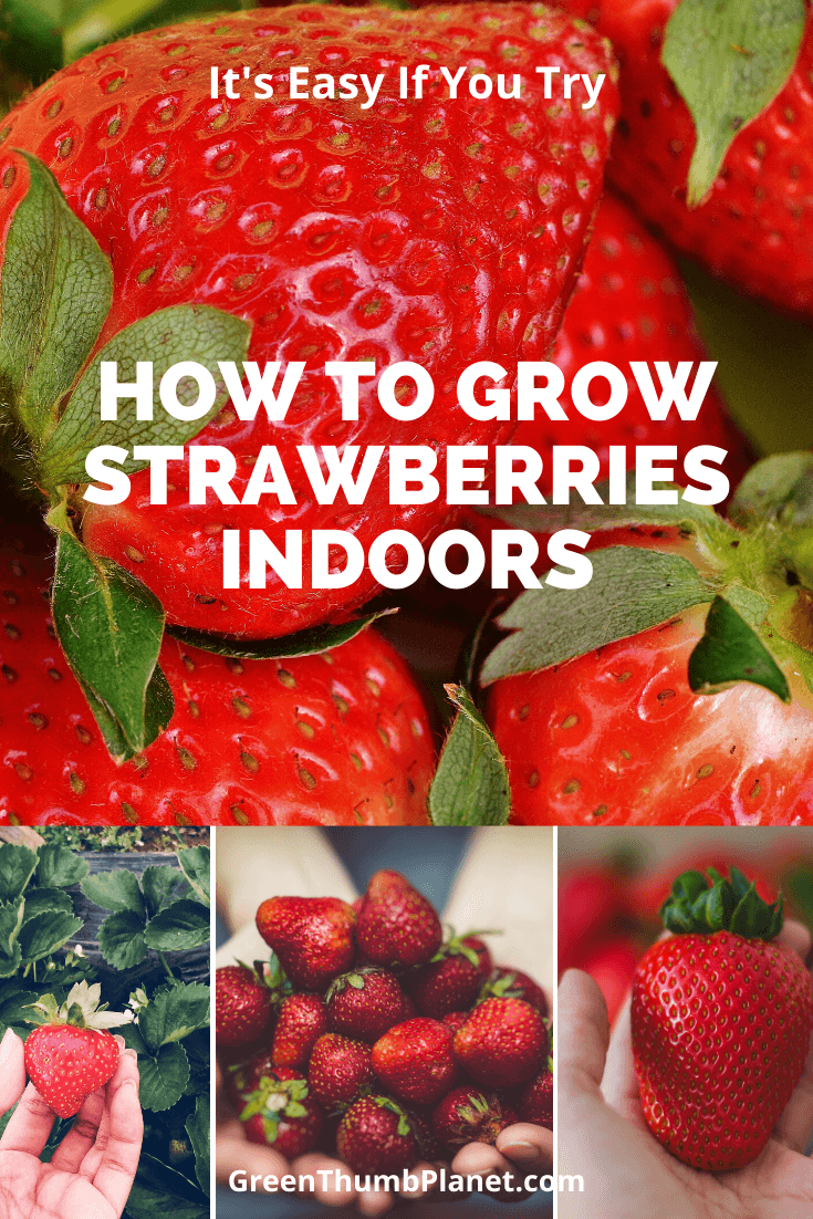 You Can Easily Grow Strawberries Indoors