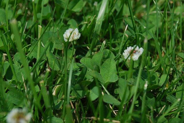 How to get rid of clover from your lawn