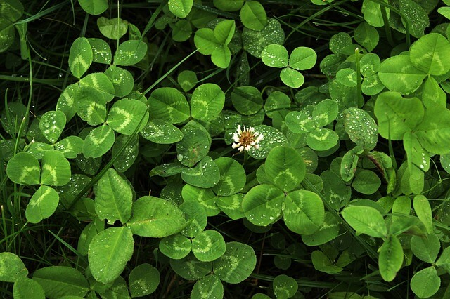 clover weeds lawn