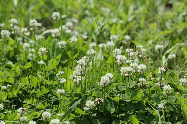 clover lawns pros cons