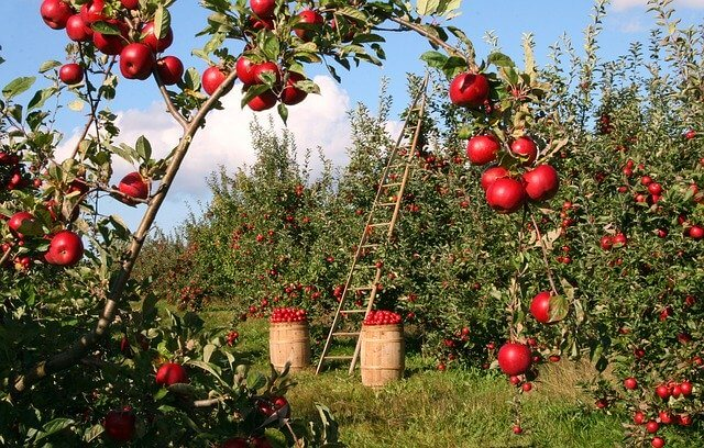 sunlight apple trees need