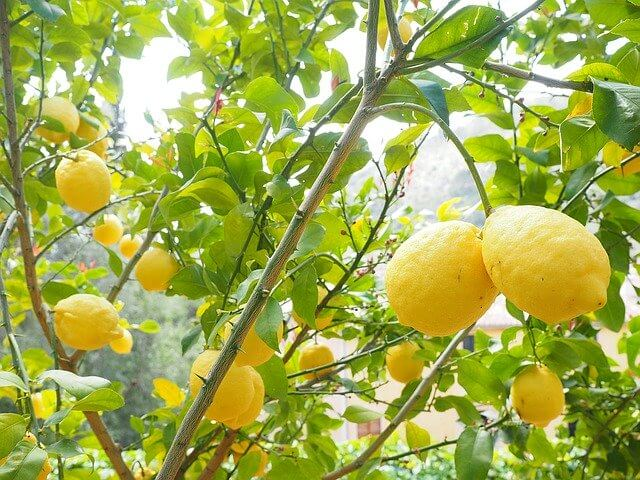 sunlight lemon trees need