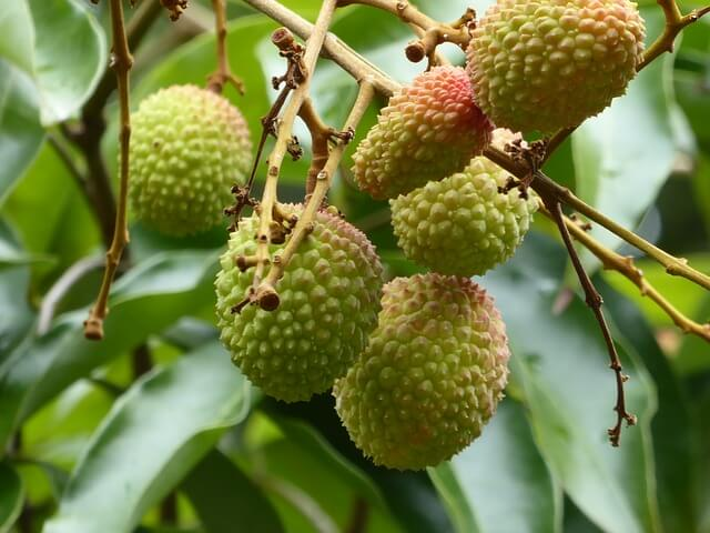 sunlight lychees need