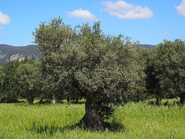 sunlight olive trees need