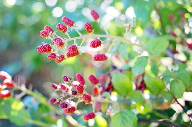 light raspberry bush need